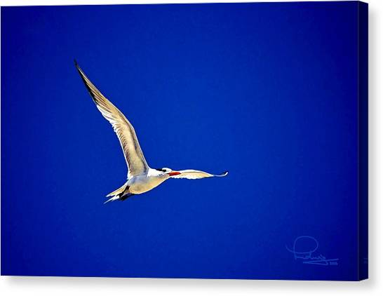 Royal Tern 2 Canvas Print