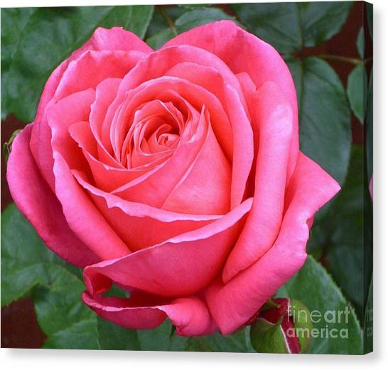 Royale Magenta Rose Canvas Print