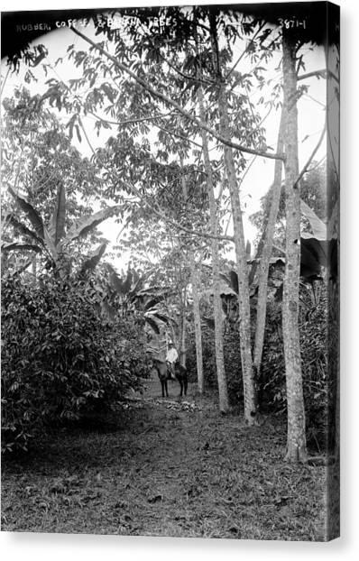 Banana Tree Canvas Print - Rubber, Coffee And Banana Trees, 1910s by Everett