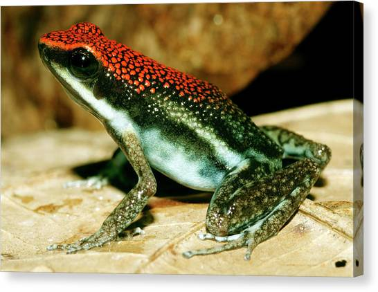 Amazon Rainforest Canvas Print - Ruby Poison Frog by Dr Morley Read/science Photo Library
