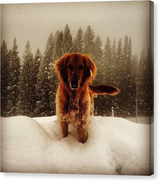 Golden Retrievers Canvas Print - Ruby by Spencer Neuberger