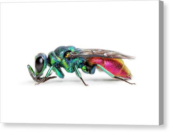 Wasp.insect Canvas Print - Ruby-tailed Wasp by Alex Hyde