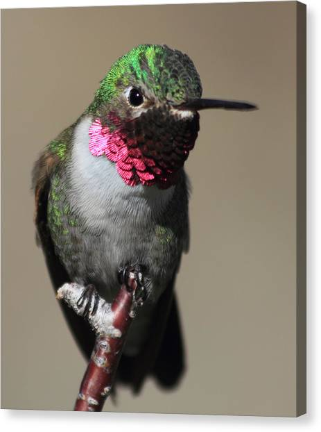Ruby-throated Hummer Canvas Print