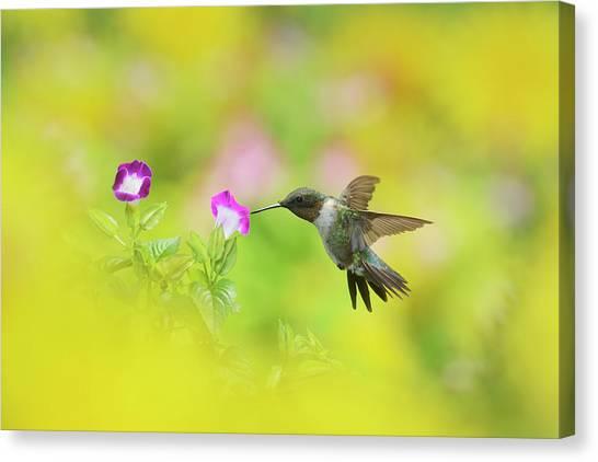 Ruby-throated Hummingbird Male Canvas Print by Rolf Nussbaumer