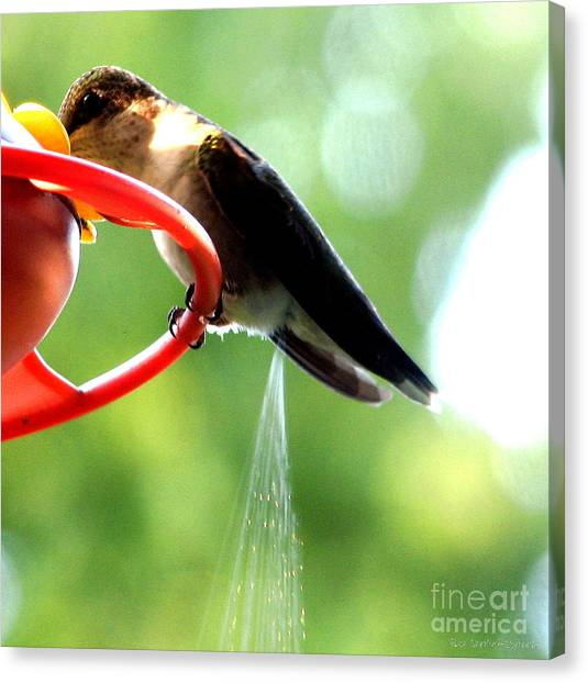 Canvas Print featuring the photograph Ruby-throated Hummingbird Pooping by Rose Santuci-Sofranko