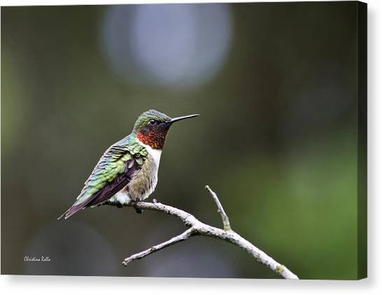 Ruby Throated Hummingbird Spotlight Canvas Print