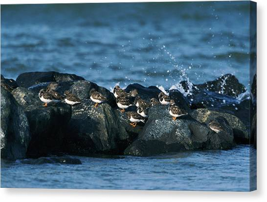 Sandpipers Canvas Print - Ruddy Turnstone And Purple Sandpiper by Leslie J Borg/science Photo Library