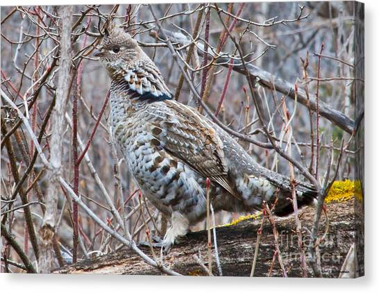 Ruffed Grouse Male Canvas Print by Chris Heitstuman