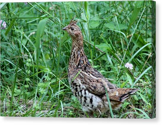 Ruffed Grouse Canvas Print by Margo Miller