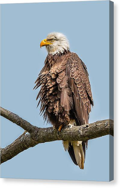 Ruffled Feathers Bald Eagle Canvas Print