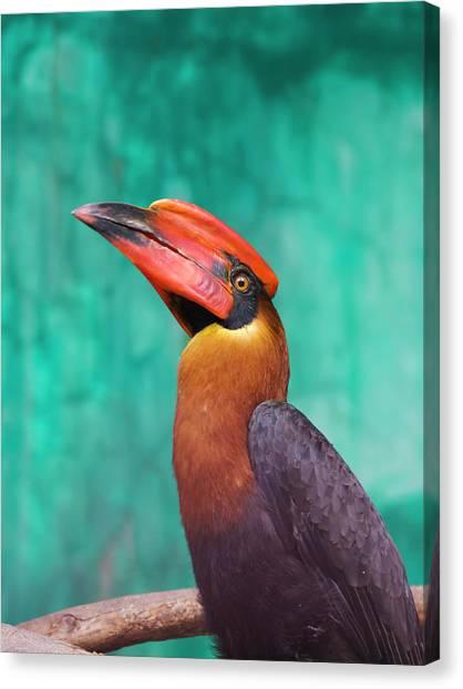 Hornbill Canvas Print - Rufous Hornbill (buceros Hydrocorax by Keren Su