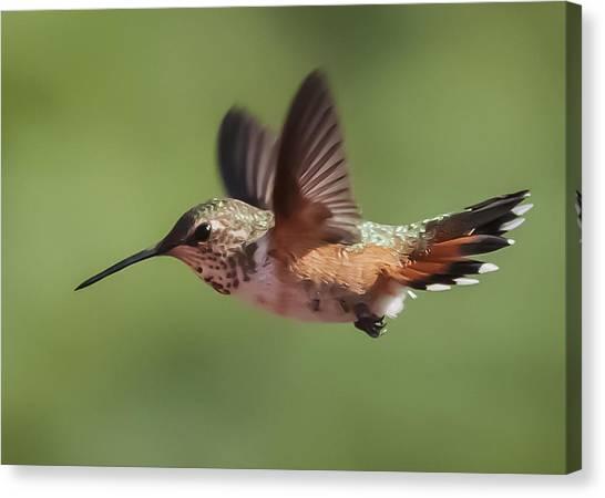 Rufous Hummingbird Canvas Print