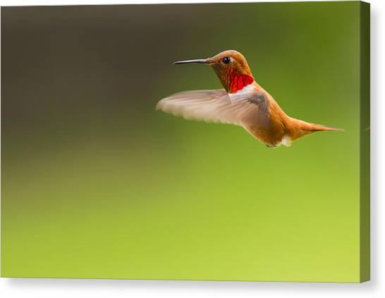 Rufous Hummingbird Male Canvas Print