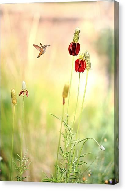 Rufous Hummingbird Mexican Hat Corn Flower Canvas Print