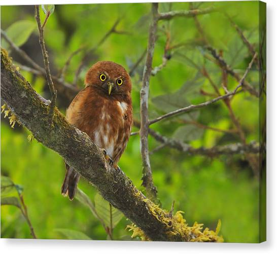 Costa Rican Canvas Print - Rufous Morph Costa Rican Pygmy-owl by Tony Beck