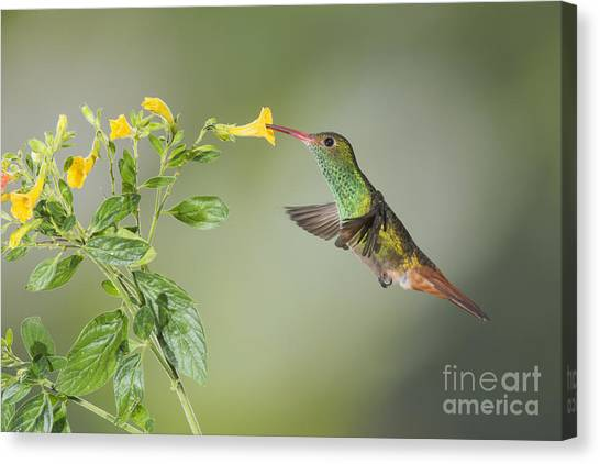 Rufous-tailed Hummingbird Canvas Print