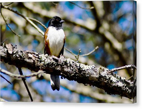 Rufus Sided Towhee Canvas Print by Dennis Coates