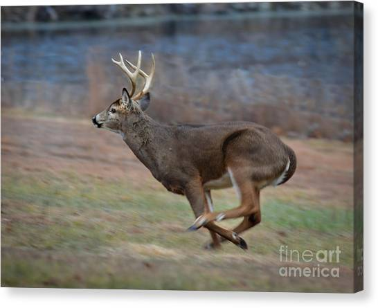 Running Buck Canvas Print