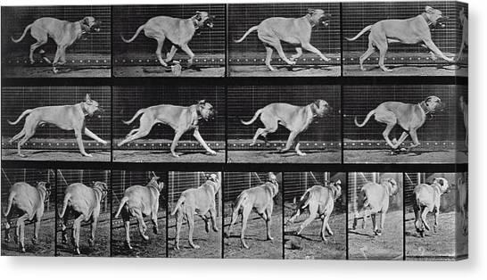 Mastiffs Canvas Print - Running Dog by Eadweard Muybridge