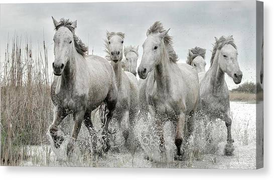White Horse Canvas Print - Running Gang by Lucie Bressy