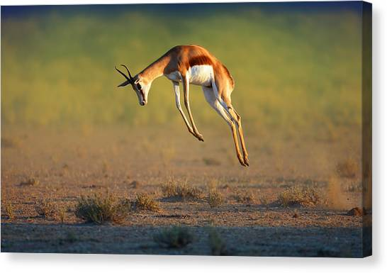 Kalahari Desert Canvas Print - Running Springbok Jumping High by Johan Swanepoel