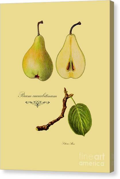 Russet Pear Canvas Print