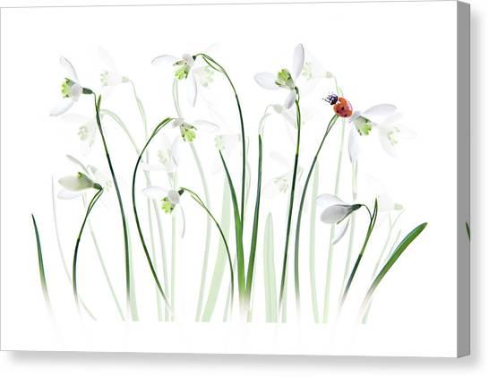 Ladybugs Canvas Print - S P R I N G  Lady by Jacky Parker