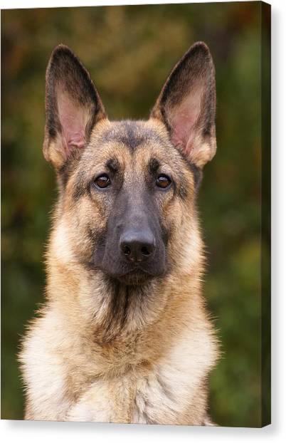 Sable German Shepherd Dog Canvas Print
