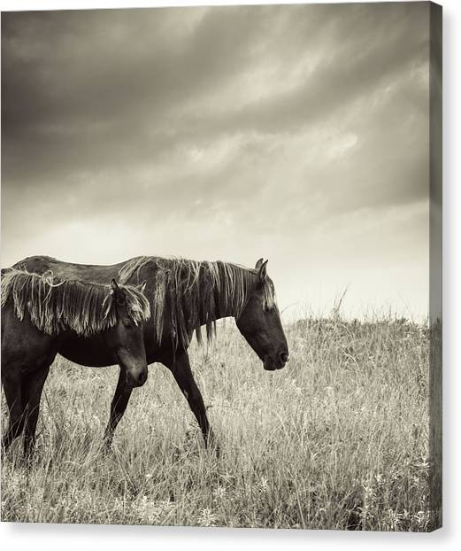 Sable Island Horses Canvas Print by Jewelsy