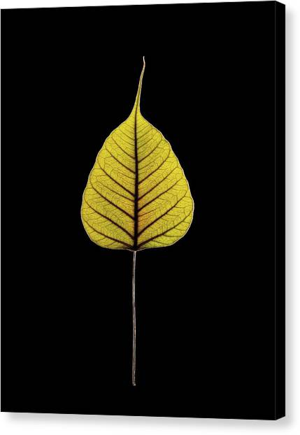 Sacred Fig (ficus Religiosa) Leaf Canvas Print by Gilles Mermet
