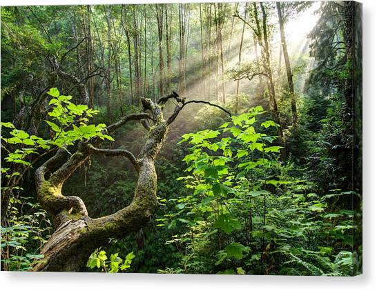 Redwood Forest Canvas Print - Sacred Grove by Dustin  LeFevre