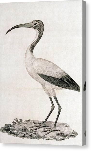 Ibis Canvas Print - Sacred Ibis by George Bernard/science Photo Library