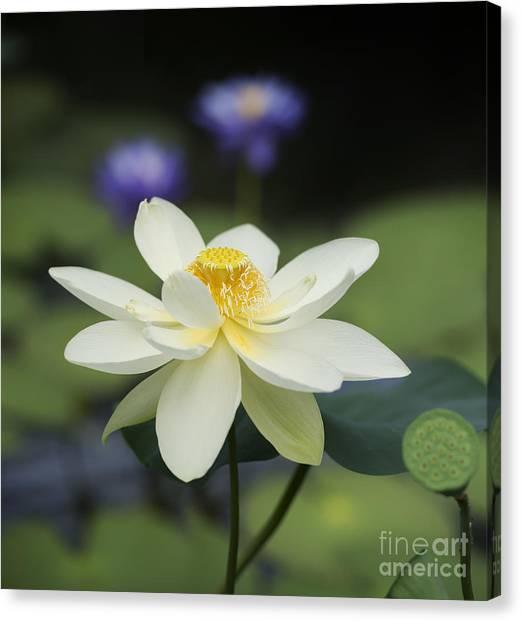 Seedhead Canvas Print - Sacred Lotus  by Tim Gainey