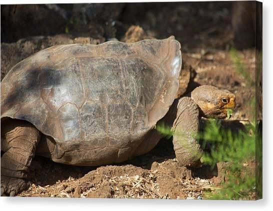 Darwin Research Center Canvas Print - Saddleback Tortoise by Allan Morrison