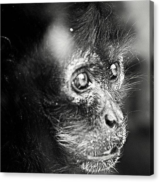 Primates Canvas Print - Sadness In Her Eyes. #natural #nature by Nick Soar