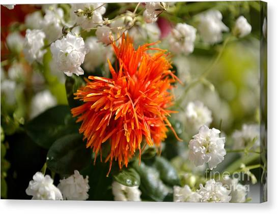 Safflower Amongst The Gypsophilia Canvas Print