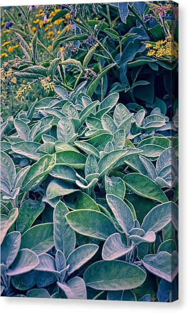 Sage In The Garden Canvas Print