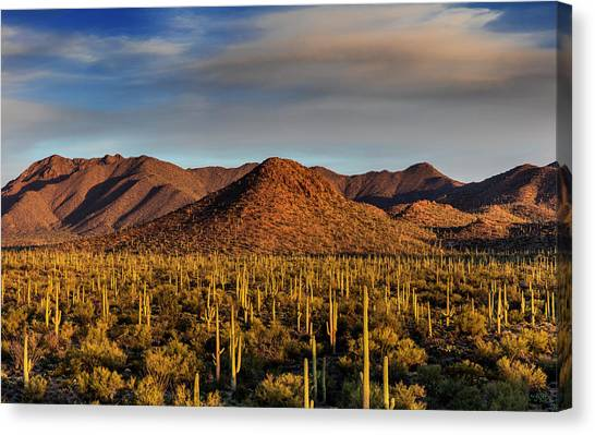 Saguaro Cactus Dominate The Landscape Canvas Print by Chuck Haney