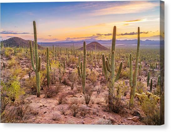 Saguaro Cactus Forest In Saguaro National Park Arizona Canvas Print by Benedek