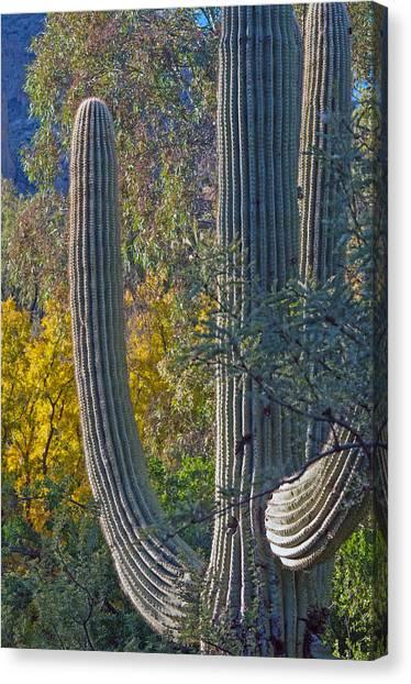Saguaro Fall Color Canvas Print