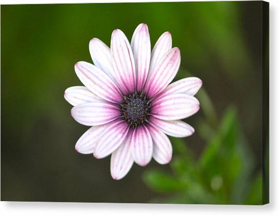 Sailor Boy Daisy Canvas Print by Dave Woodbridge