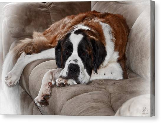 Saint Bernard Canvas Print
