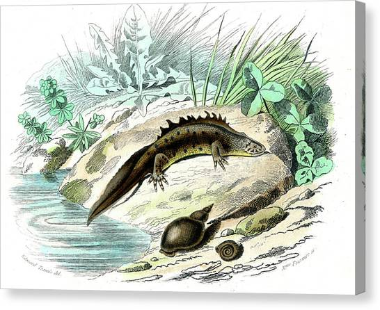 Salamanders Canvas Print - Salamander And Snail by Collection Abecasis/science Photo Library