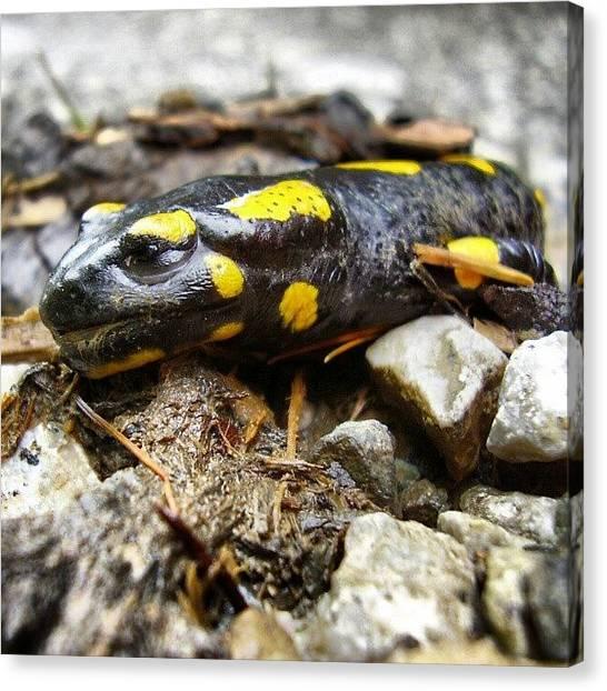 Salamanders Canvas Print - #salamander #salamandra #obojzivelnik by Mato Mato