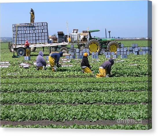 Salinas Farmworkers Canvas Print