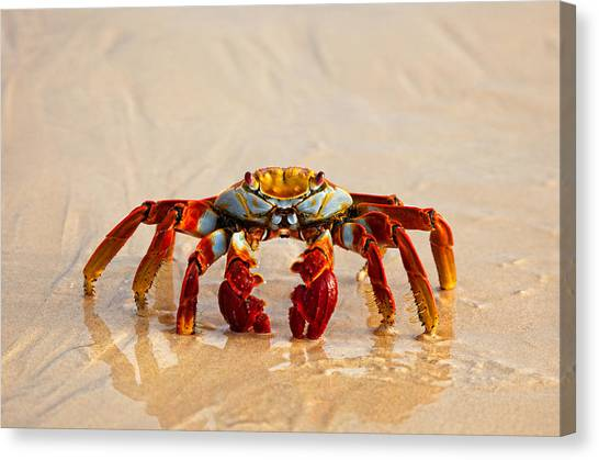 Sally Lightfoot Crab Canvas Print