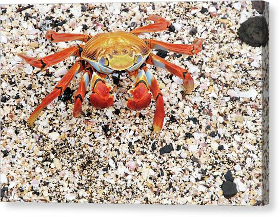 Sally Lightfoot Crab Canvas Print by Sue Ford/science Photo Library