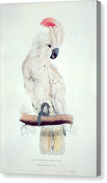 Salmon Canvas Print - Salmon Crested Cockatoo by Edward Lear
