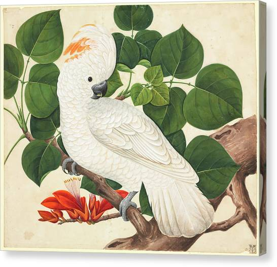 Cockatoos Canvas Print - Salmon-crested Cockatoo by Natural History Museum, London