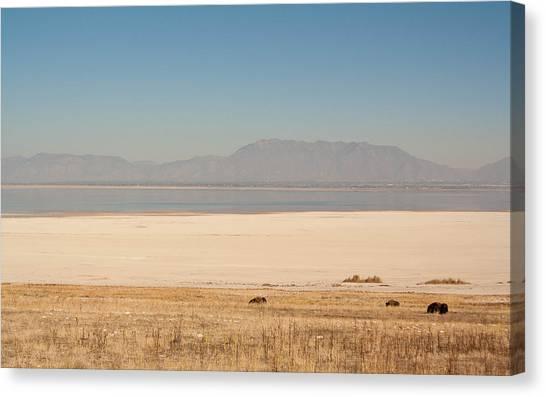 Salt Lake Bison Canvas Print
